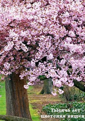 Тысяча лет цветения вишен