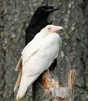 Ворона неправильного цвета