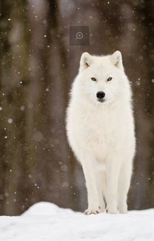 Имя Белого Волка