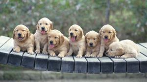 Семь щенков.
