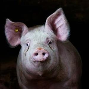 """""""Прости, моя свиньюшка"""""""