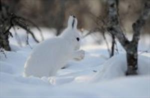 Как заяц-беляк белым стал